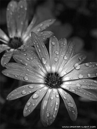 Vần thơ nhỏ Rain-flower